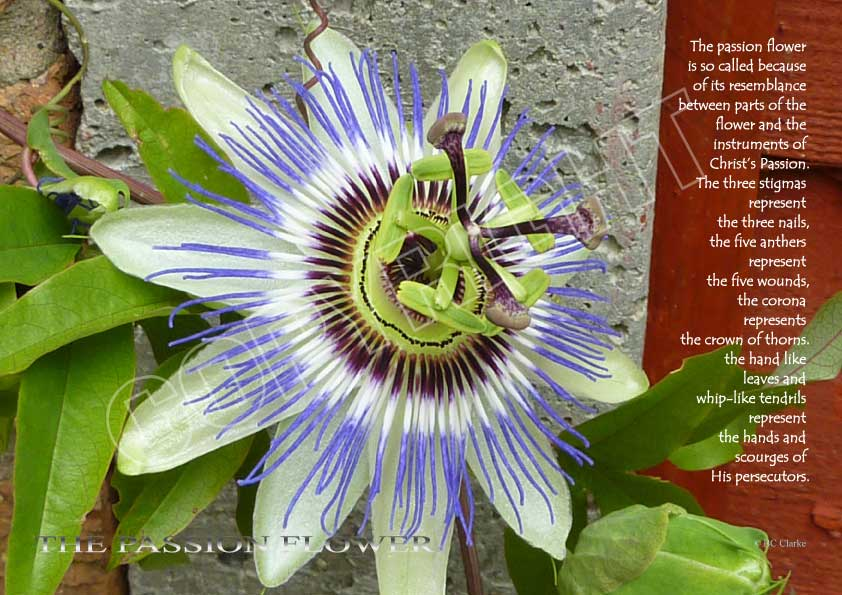 Passion Flower Mounted Print