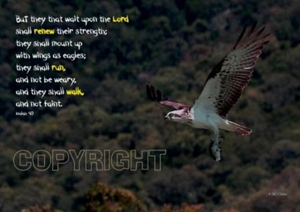 Osprey in Flight Mounted Print
